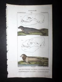 Turpin C1820 Antique Hand Col Print. Elephant Seal, Sea Lion 49